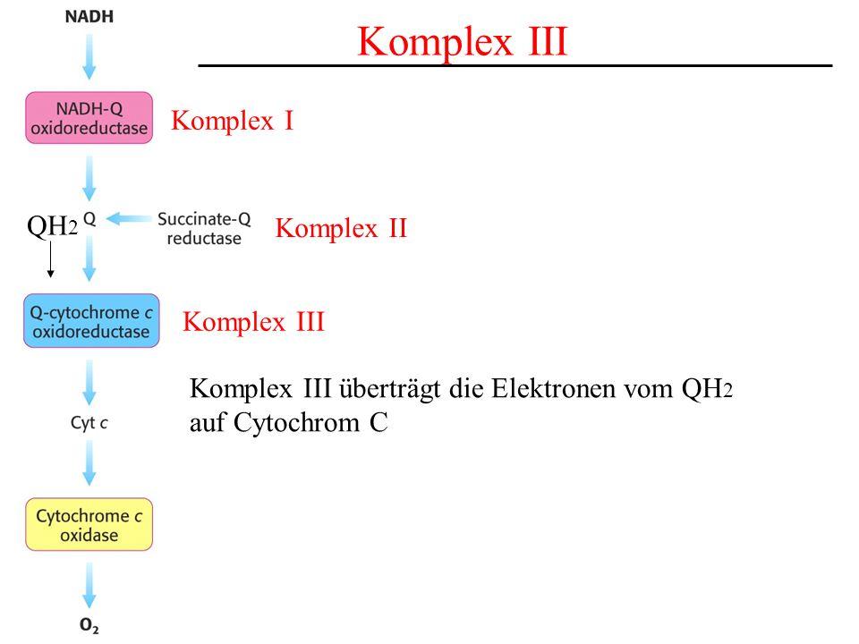 Komplex I Komplex II Komplex III QH 2 Komplex III Komplex III überträgt die Elektronen vom QH 2 auf Cytochrom C