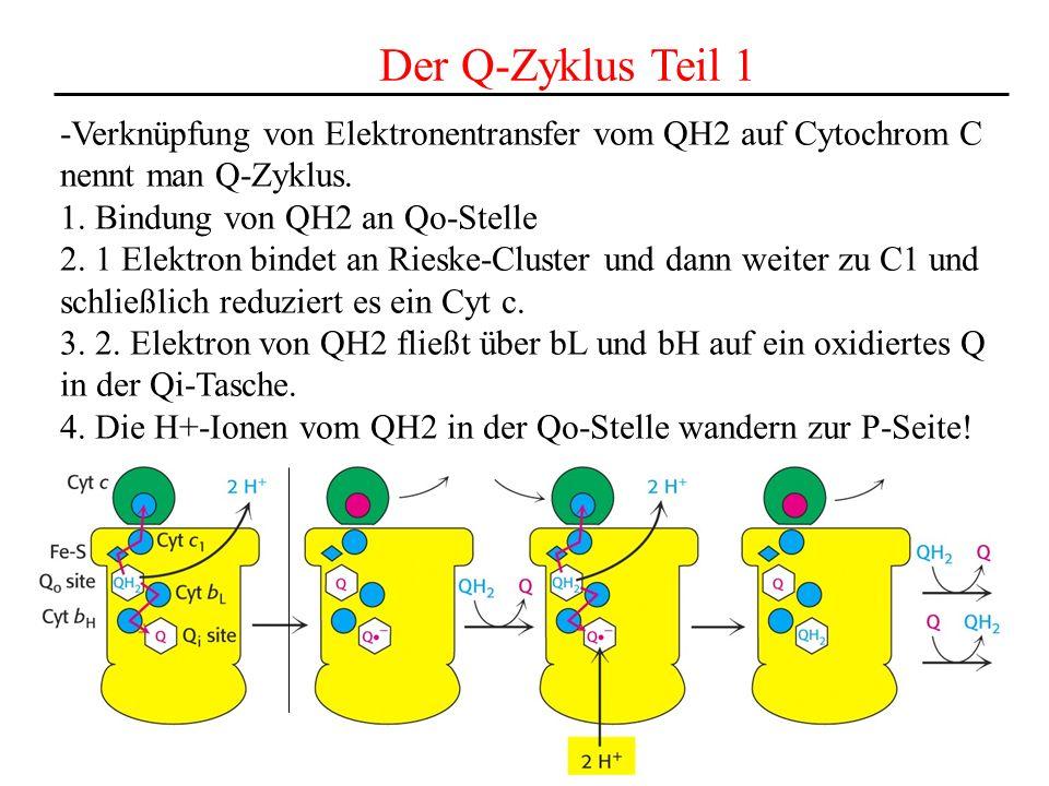 Der Q-Zyklus Teil 1 -Verknüpfung von Elektronentransfer vom QH2 auf Cytochrom C nennt man Q-Zyklus. 1. Bindung von QH2 an Qo-Stelle 2. 1 Elektron bind