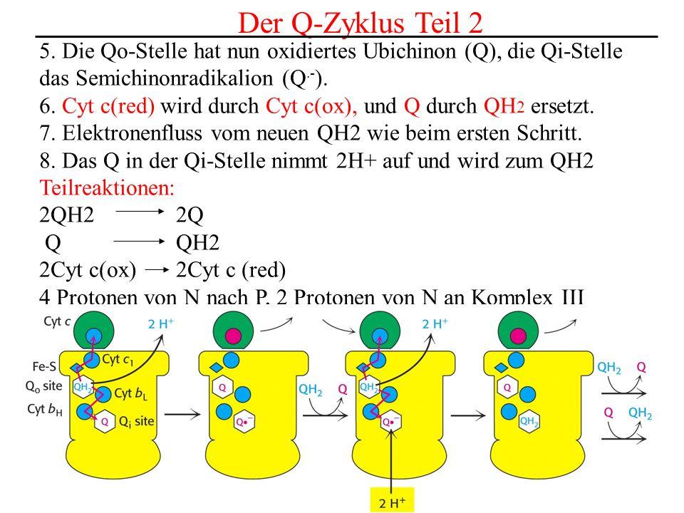 Der Q-Zyklus Teil 2 5. Die Qo-Stelle hat nun oxidiertes Ubichinon (Q), die Qi-Stelle das Semichinonradikalion (Q.- ). 6. Cyt c(red) wird durch Cyt c(o