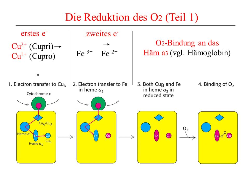 Die Reduktion des O 2 (Teil 1) Cu 2+ (Cupri) Cu 1+ (Cupro) erstes e - zweites e - Fe 3+ Fe 2+ O 2 -Bindung an das Häm a 3 (vgl. Hämoglobin)