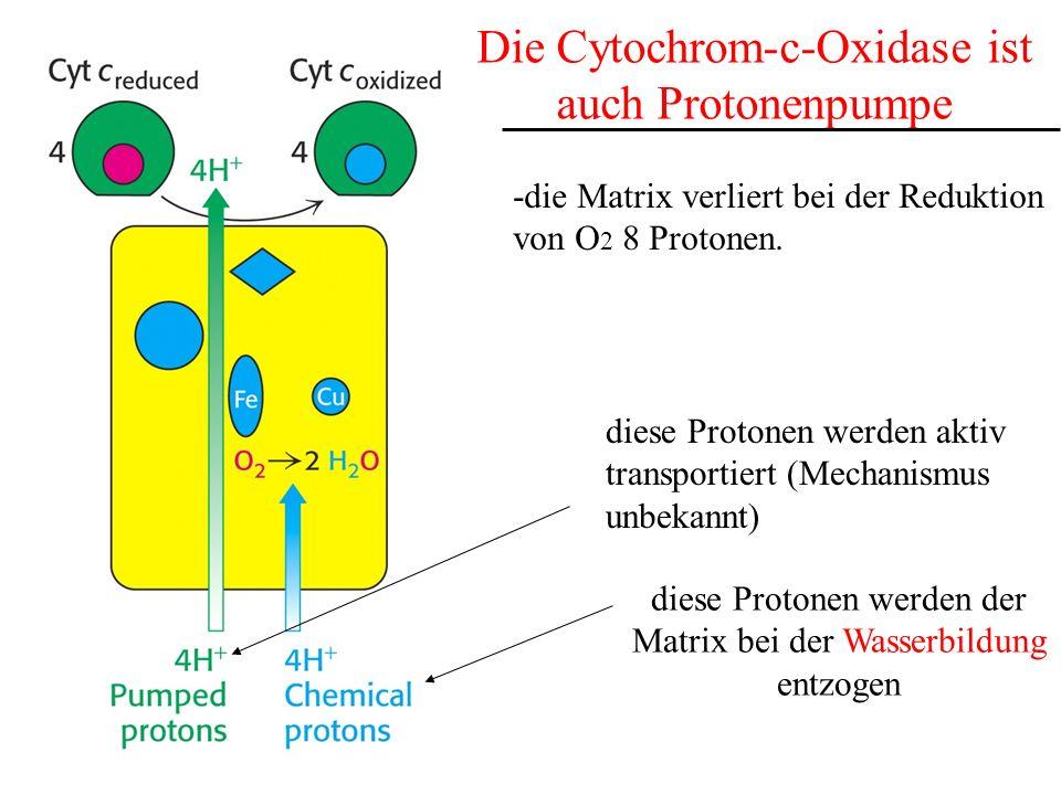 Die Cytochrom-c-Oxidase ist auch Protonenpumpe diese Protonen werden der Matrix bei der Wasserbildung entzogen diese Protonen werden aktiv transportie