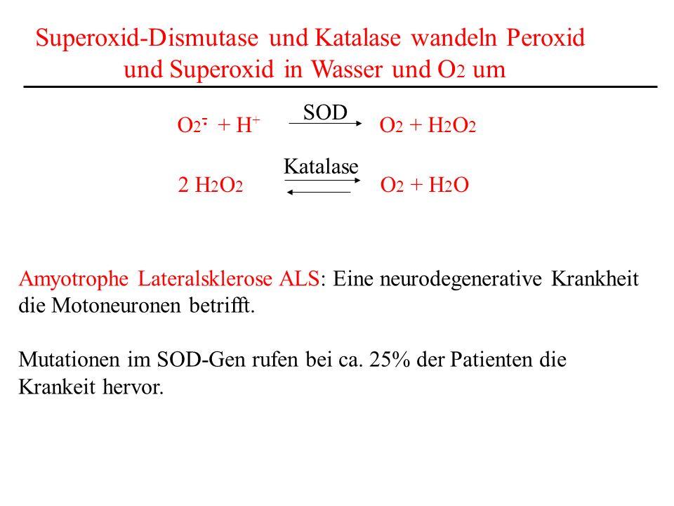 Superoxid-Dismutase und Katalase wandeln Peroxid und Superoxid in Wasser und O 2 um O 2 - + H + O 2 + H 2 O 2 SOD. 2 H 2 O 2 O 2 + H 2 O Katalase Amyo