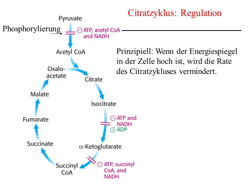 Citratzyklus: Regulation Phosphorylierung Prinzipiell: Wenn der Energiespiegel in der Zelle hoch ist, wird die Rate des Citratzykluses vermindert.