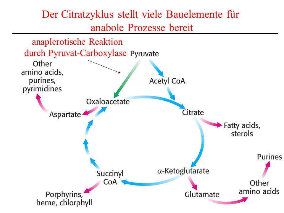 Der Citratzyklus stellt viele Bauelemente für anabole Prozesse bereit anaplerotische Reaktion durch Pyruvat-Carboxylase