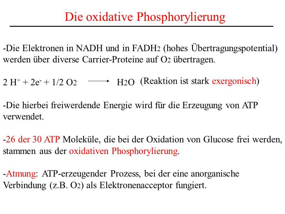 Die oxidative Phosphorylierung -Die Elektronen in NADH und in FADH 2 (hohes Übertragungspotential) werden über diverse Carrier-Proteine auf O 2 übertr