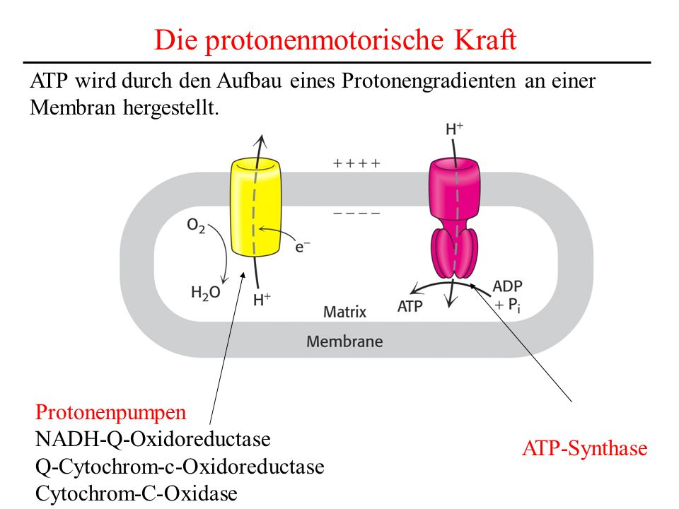 Die protonenmotorische Kraft ATP-Synthase Protonenpumpen NADH-Q-Oxidoreductase Q-Cytochrom-c-Oxidoreductase Cytochrom-C-Oxidase ATP wird durch den Auf