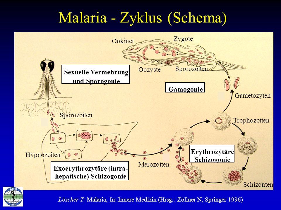 Malaria - Zyklus (Schema) Sexuelle Vermehrung und Sporogonie Gamogonie Exoerythrozytäre (intra- hepatische) Schizogonie Erythrozytäre Schizogonie Spor