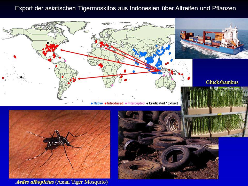 Aedes albopictus (Asian Tiger Mosquito) Glücksbambus Export der asiatischen Tigermoskitos aus Indonesien über Altreifen und Pflanzen