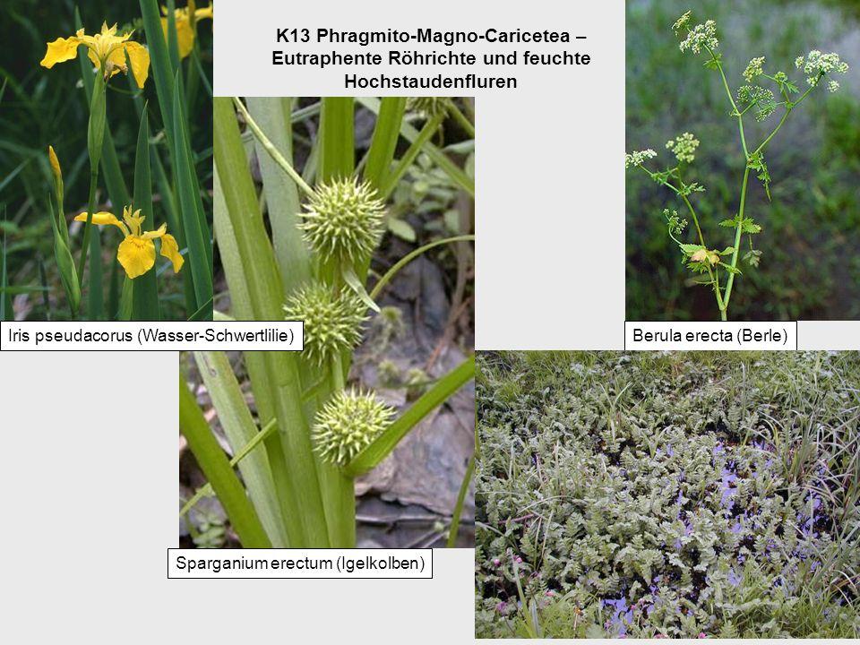K13 Phragmito-Magno-Caricetea – Eutraphente Röhrichte und feuchte Hochstaudenfluren Sparganium erectum (Igelkolben) Iris pseudacorus (Wasser-Schwertlilie)Berula erecta (Berle)