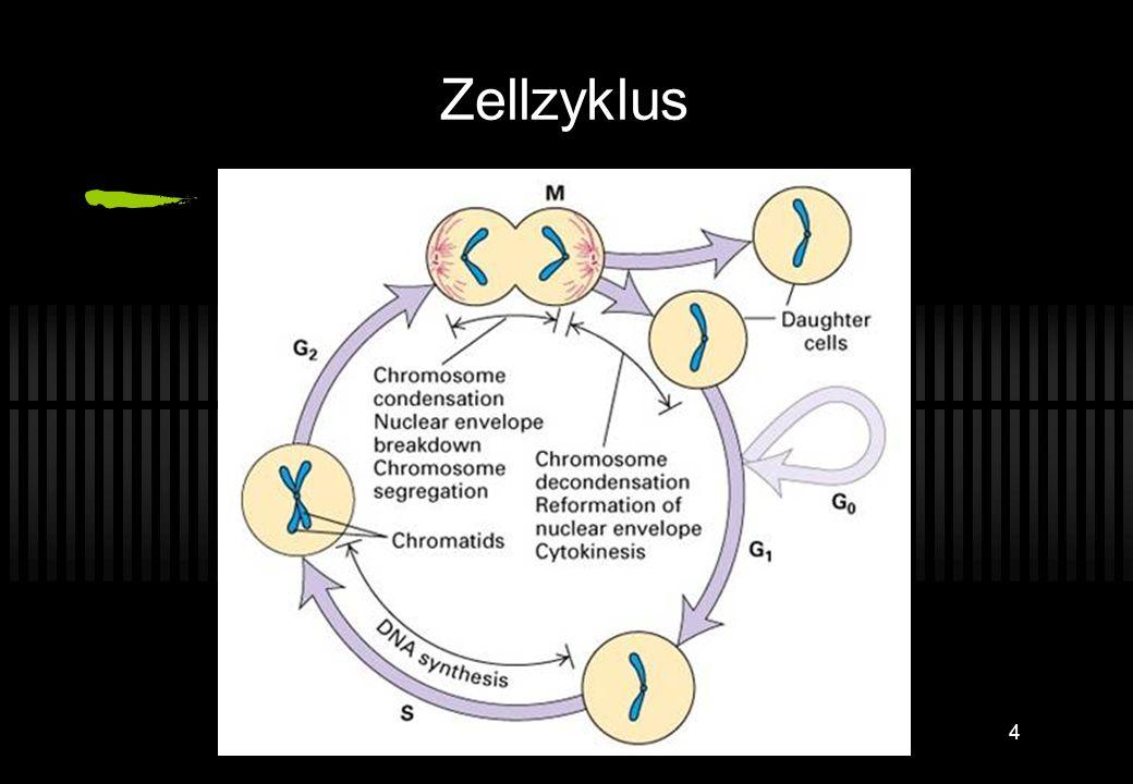 3 Wofür braucht man das ? Bestimmung des Chromosomensatzes einer (Misch-) Population (Euploidie, Aneuploide, Polyploidie) Veränderungen im Zellzyklus,