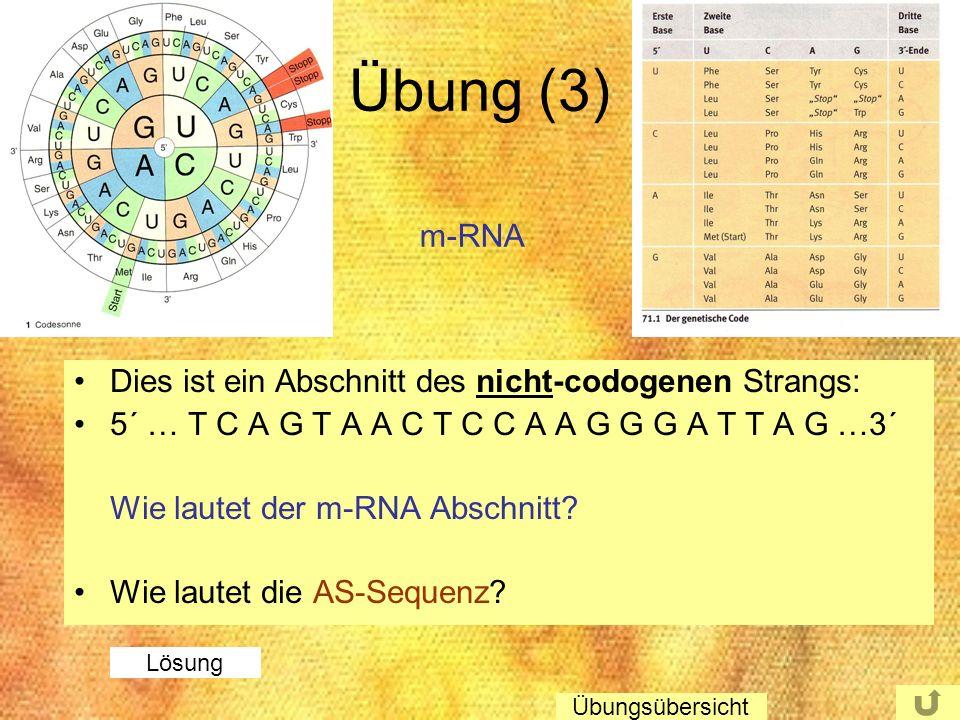 Übung (3) Dies ist ein Abschnitt des nicht-codogenen Strangs: 5´ … T C A G T A A C T C C A A G G G A T T A G …3´ Wie lautet der m-RNA Abschnitt? Wie l