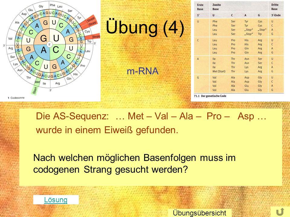 Übung (4) Die AS-Sequenz: … Met – Val – Ala – Pro – Asp … wurde in einem Eiweiß gefunden. Nach welchen möglichen Basenfolgen muss im codogenen Strang