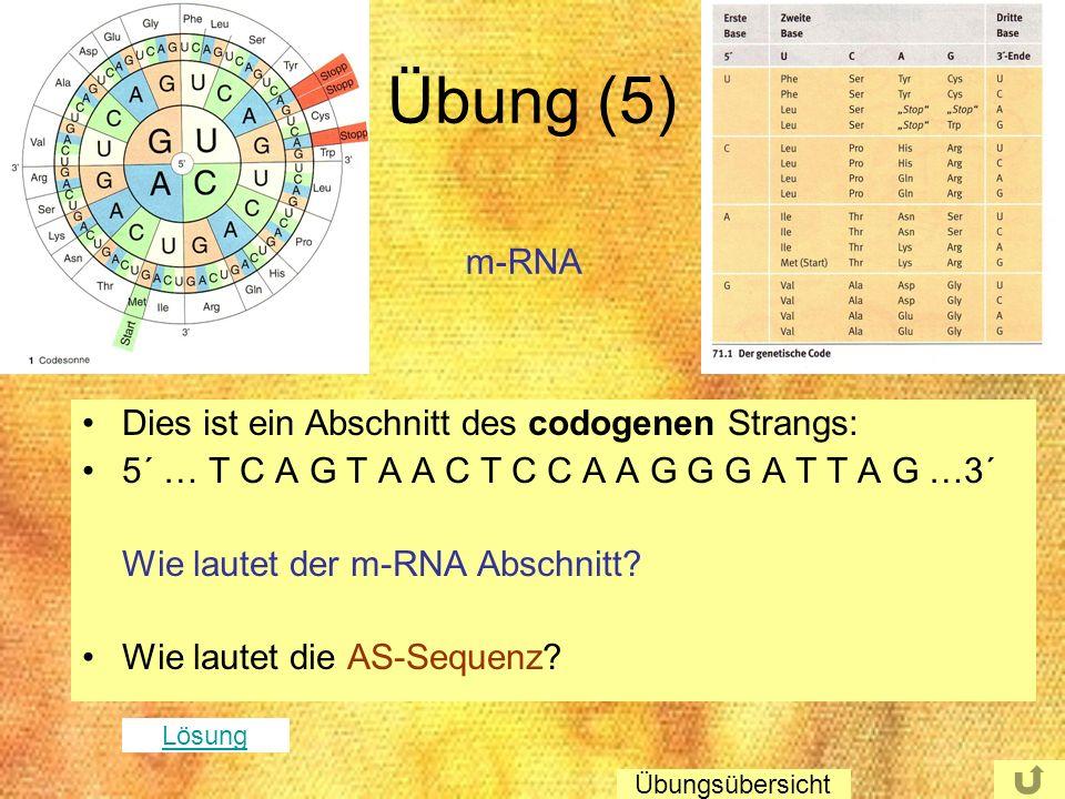 Übung (5) Dies ist ein Abschnitt des codogenen Strangs: 5´ … T C A G T A A C T C C A A G G G A T T A G …3´ Wie lautet der m-RNA Abschnitt? Wie lautet