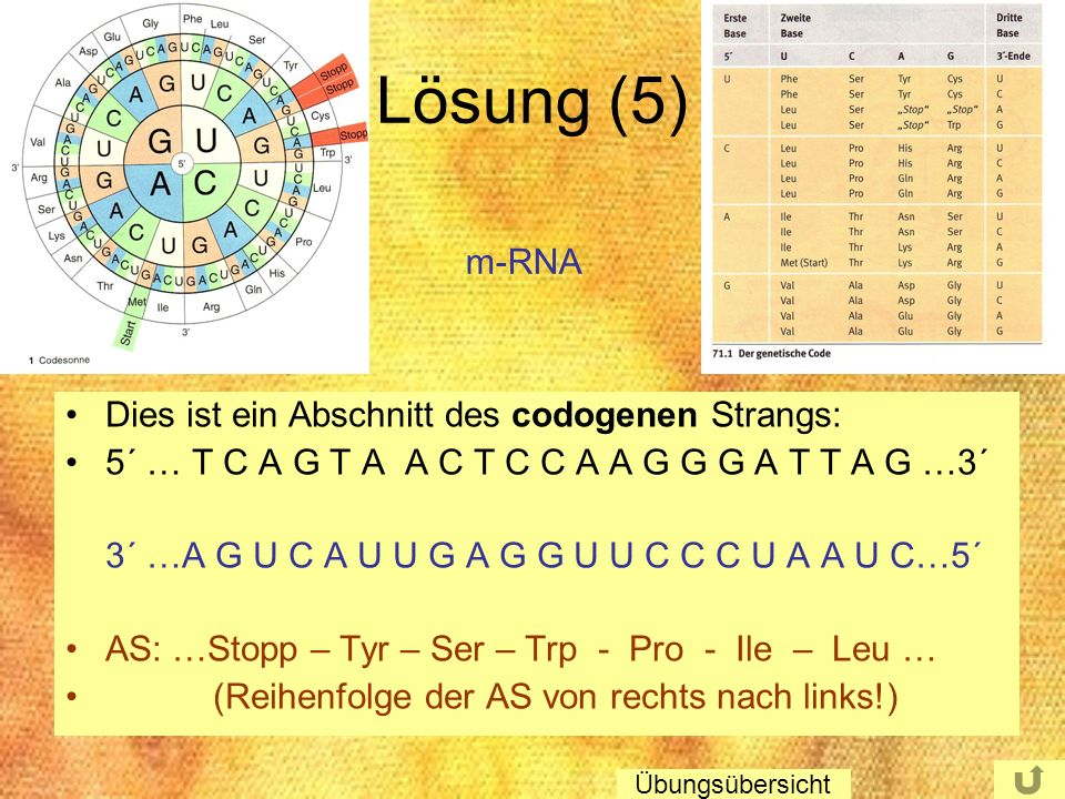 Lösung (5) Dies ist ein Abschnitt des codogenen Strangs: 5´ … T C A G T A A C T C C A A G G G A T T A G …3´ 3´ …A G U C A U U G A G G U U C C C U A A