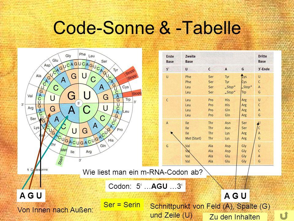 Code-Sonne & -Tabelle Wie liest man ein m-RNA-Codon ab? Codon: 5 …AGU …3 A G U Ser = Serin Von Innen nach Außen: Schnittpunkt von Feld (A), Spalte (G)