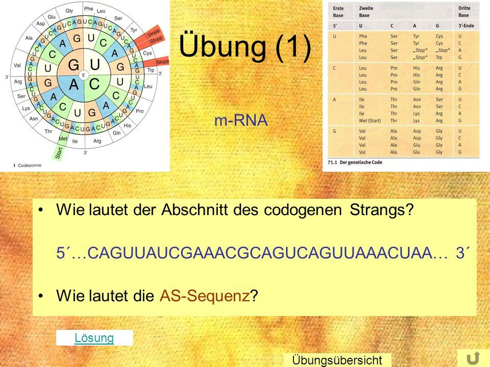 Übung (1) Wie lautet der Abschnitt des codogenen Strangs? 5´…CAGUUAUCGAAACGCAGUCAGUUAAACUAA… 3´ Wie lautet die AS-Sequenz? m-RNA Lösung Übungsübersich