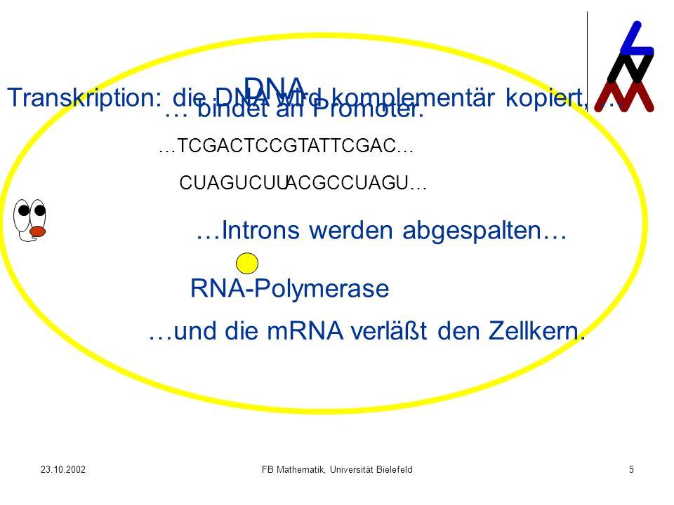 23.10.2002FB Mathematik, Universität Bielefeld5 …TCGACTCCGTATTCGAC… ACGCCUAGU…CUAGUCUU DNA RNA-Polymerase … bindet an Promoter. Transkription: die DNA