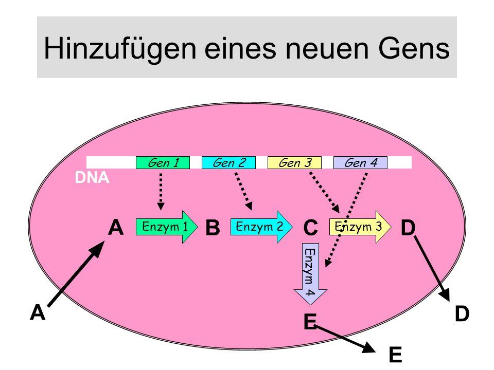 Hinzufügen eines neuen Gens DNA Gen 1Gen 2Gen 3 Enzym 1 Enzym 2 Enzym 3 A BCD A Gen 4 Enzym 4 E E D