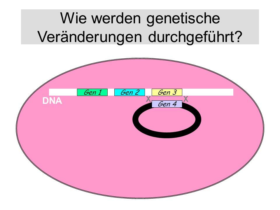 Wie werden genetische Veränderungen durchgeführt? DNA Gen 1Gen 2Gen 3 Gen 4 XX