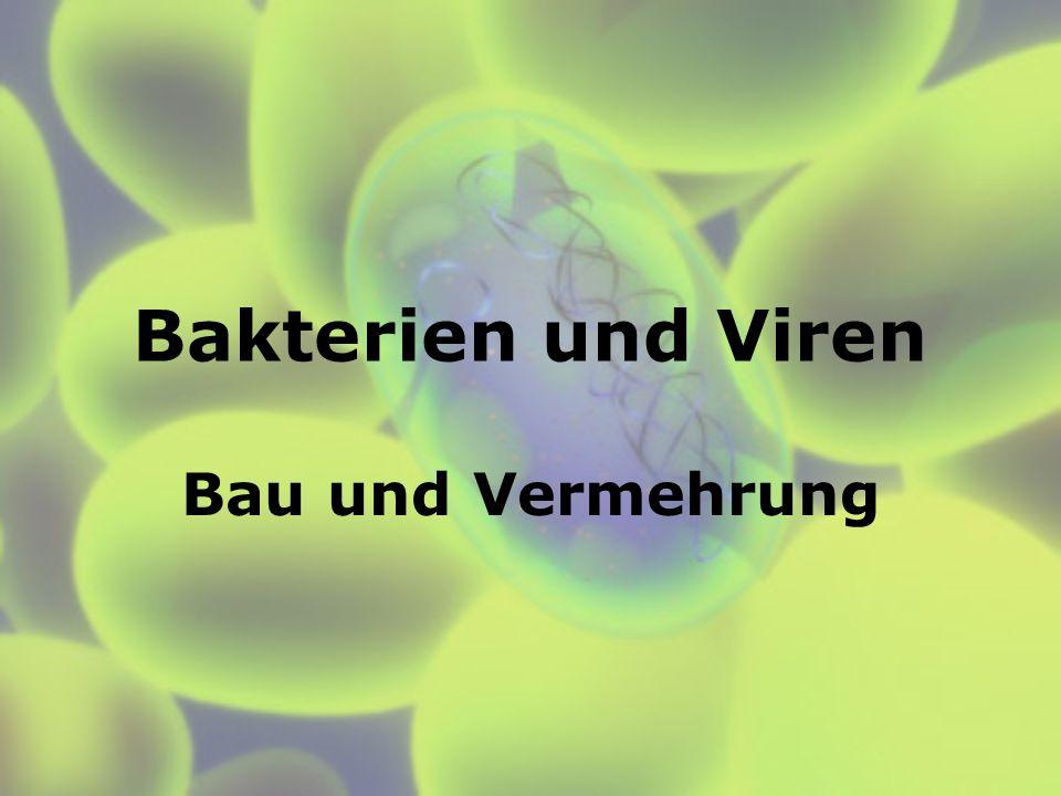 Bakterien Sind Prokaryoten: keinen membranumhüllten Zellkern; Zellwand (Murein), Zellorganellen wie Mitochondrien und Chloroplasten fehlen