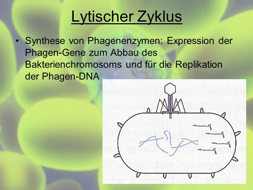 Lytischer Zyklus Synthese von Phagenenzymen: Expression der Phagen-Gene zum Abbau des Bakterienchromosoms und für die Replikation der Phagen-DNA