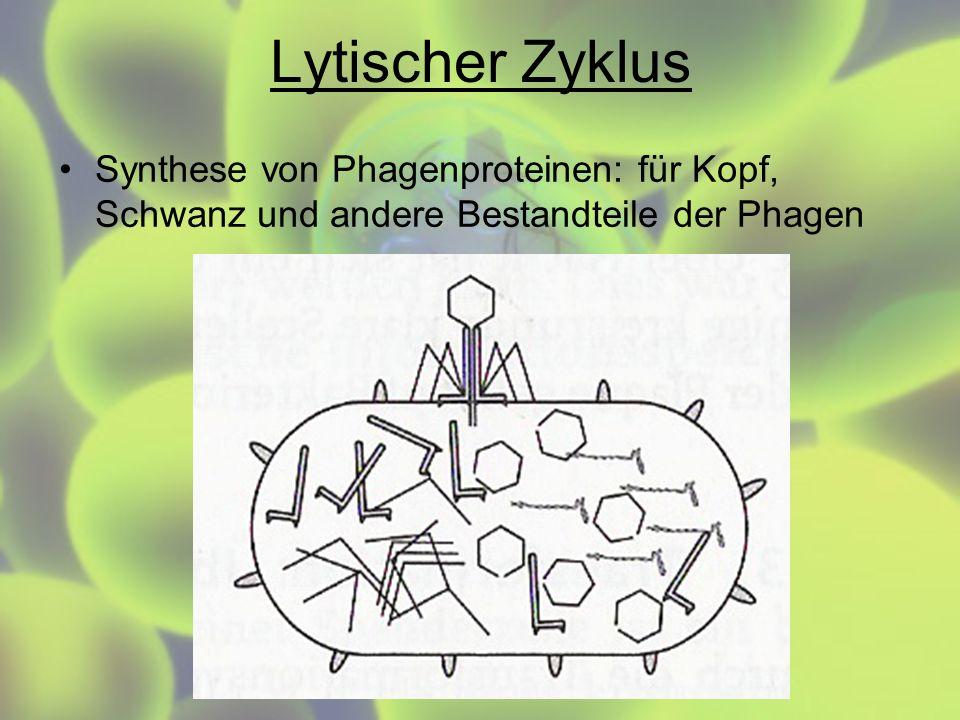 Lytischer Zyklus Synthese von Phagenproteinen: für Kopf, Schwanz und andere Bestandteile der Phagen