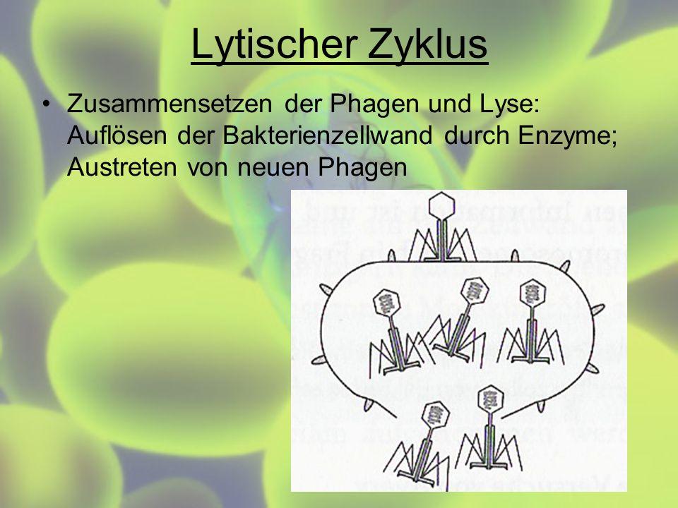 Lytischer Zyklus Zusammensetzen der Phagen und Lyse: Auflösen der Bakterienzellwand durch Enzyme; Austreten von neuen Phagen
