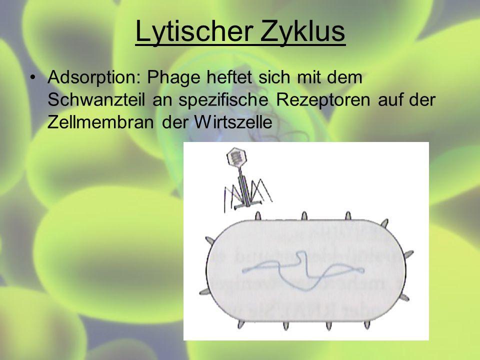 Lytischer Zyklus Adsorption: Phage heftet sich mit dem Schwanzteil an spezifische Rezeptoren auf der Zellmembran der Wirtszelle