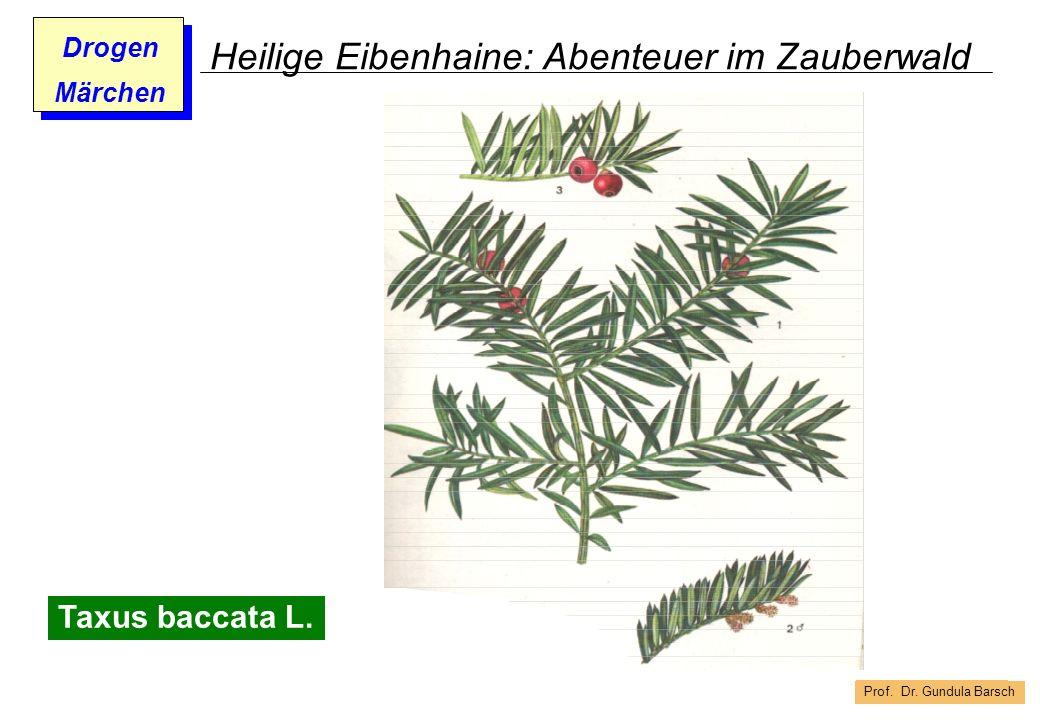 Prof. Dr. Gundula Barsch Drogen Märchen Heilige Eibenhaine: Abenteuer im Zauberwald Taxus baccata L.