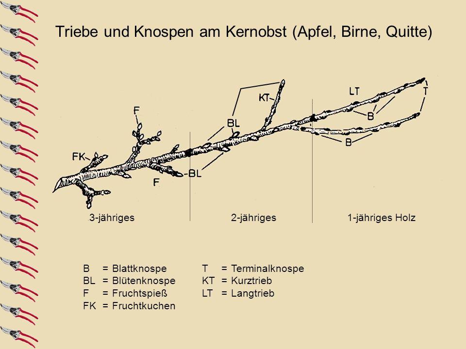 B = Blattknospe BL = Blütenknospe F= Fruchtspieß FK = Fruchtkuchen T = Terminalknospe KT = Kurztrieb LT= Langtrieb 3-jähriges1-jähriges Holz2-jähriges