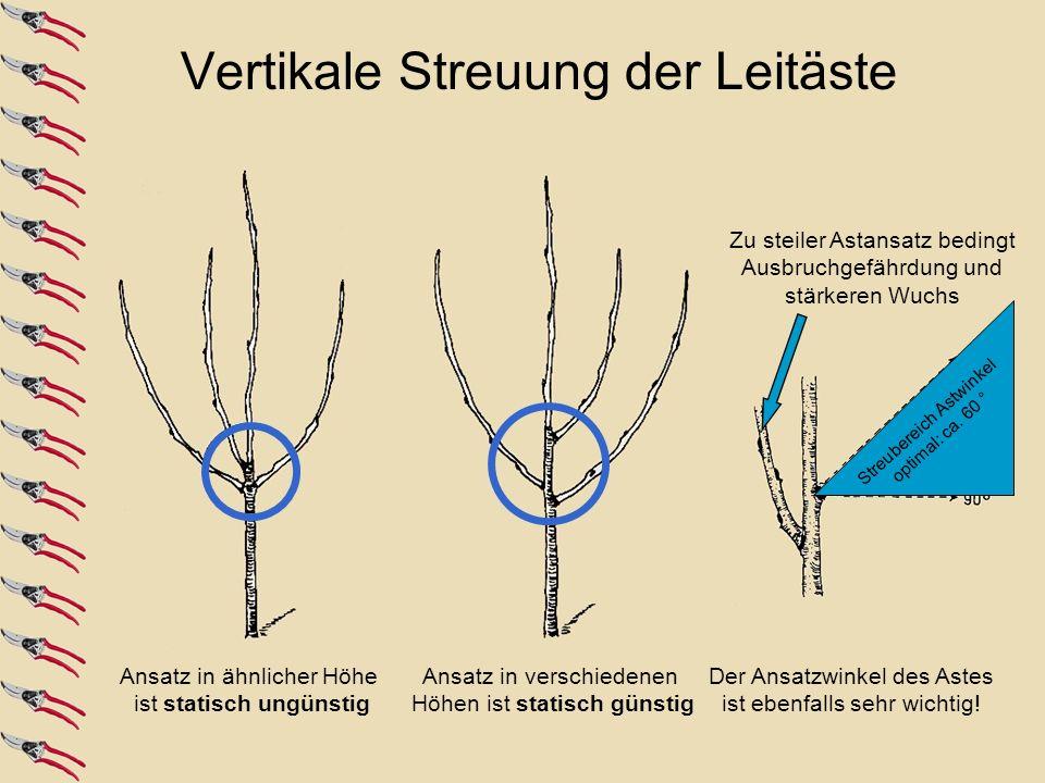 Streubereich Astwinkel optimal: ca. 60 ° Ansatz in ähnlicher Höhe ist statisch ungünstig Ansatz in verschiedenen Höhen ist statisch günstig Zu steiler