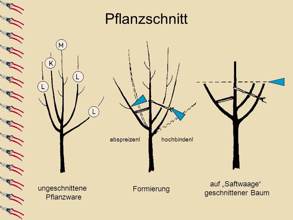 ungeschnittene Pflanzware auf Saftwaage geschnittener Baum Formierung hochbinden!abspreizen! Pflanzschnitt