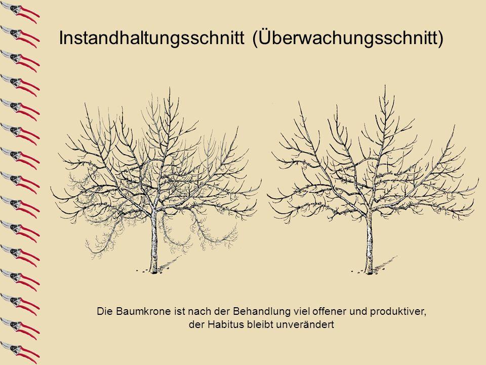 Entfernung der Konkurrenztriebe und des überalterten Fruchtholzes; Auslichten der Krone Baum nach der Behandlung. Die Leitäste und der Mitteltrieb müs