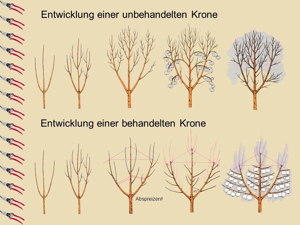 projizierte Kronenfläche wesentlich größeres Kronenvolumen durch Formierung Außerdem: schwächerer Wuchs durch flachere Triebstellung und stärkere Neigung zu Fruchtansatz Formierung für die bessere Belichtung des Baumes