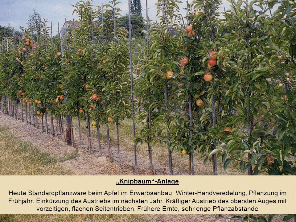 Knipbaum-Anlage Heute Standardpflanzware beim Apfel im Erwerbsanbau. Winter-Handveredelung, Pflanzung im Frühjahr. Einkürzung des Austriebs im nächste