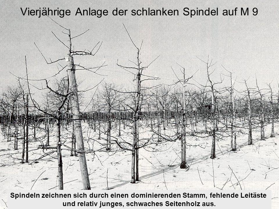 Spindeln zeichnen sich durch einen dominierenden Stamm, fehlende Leitäste und relativ junges, schwaches Seitenholz aus. Vierjährige Anlage der schlank