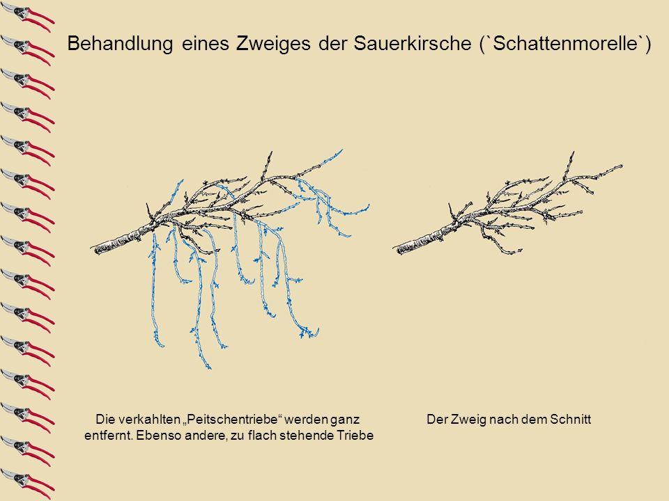 Die verkahlten Peitschentriebe werden ganz entfernt. Ebenso andere, zu flach stehende Triebe Der Zweig nach dem Schnitt Behandlung eines Zweiges der S