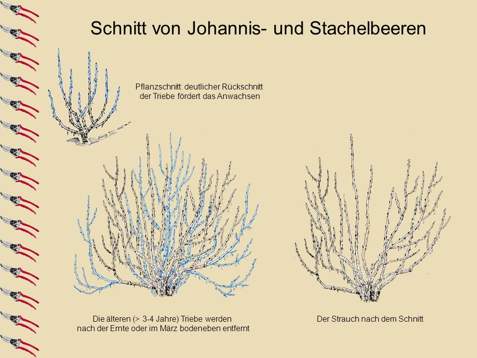 Die älteren (> 3-4 Jahre) Triebe werden nach der Ernte oder im März bodeneben entfernt Der Strauch nach dem Schnitt Pflanzschnitt: deutlicher Rückschn