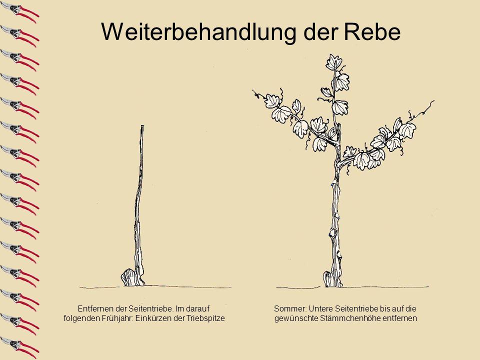 Austrieb in der folgenden Vegetationsperiode Entfernen der Seitentriebe. Im darauf folgenden Frühjahr: Einkürzen der Triebspitze Sommer: Untere Seiten