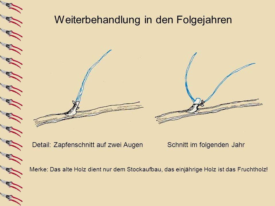 3. Jahr: Die Formierung beginntÜberflüssige Triebe entfernen4. Jahr und folgende Jahre: Zapfenschnitt auf 1-2 Augen Merke: Das alte Holz dient nur dem