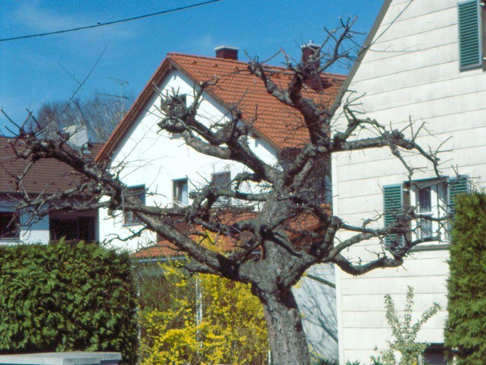 ungeschnittene Pflanzware auf Saftwaage geschnittener Baum Formierung hochbinden!abspreizen.