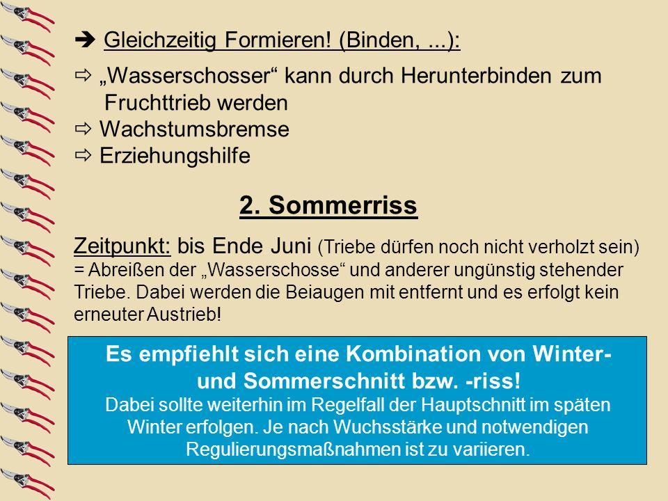 1.Erziehungsschnitt: zum Kronenaufbau (4 - 6 Jahre) 2.