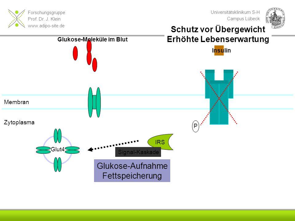 Forschungsgruppe Prof. Dr. J. Klein www.adipo-site.de Universitätsklinikum S-H Campus Lübeck Medizinische Klinik I Membran P IRS Glut4 Glukose-Molekül