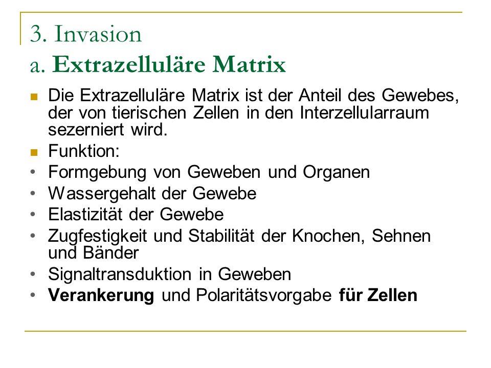 3. Invasion a. Extrazelluläre Matrix Die Extrazelluläre Matrix ist der Anteil des Gewebes, der von tierischen Zellen in den Interzellularraum sezernie