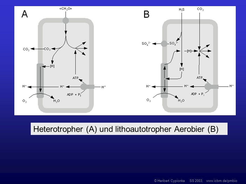 © Heribert Cypionka SS 2003, www.icbm.de/pmbio Heterotropher (A) und lithoautotropher Aerobier (B)