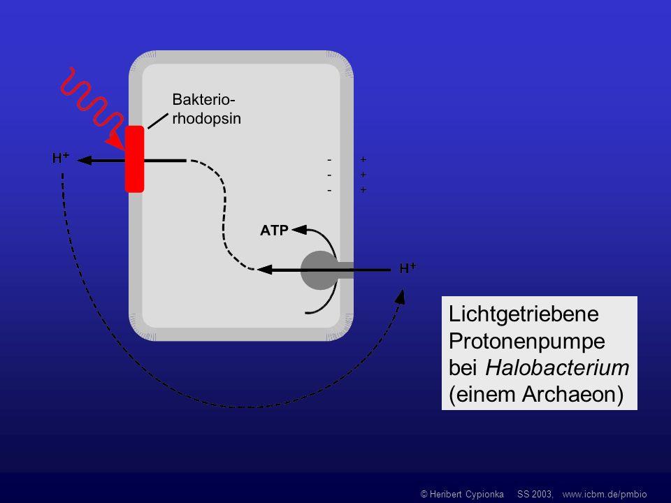 © Heribert Cypionka SS 2003, www.icbm.de/pmbio Lichtgetriebene Protonenpumpe bei Halobacterium (einem Archaeon)