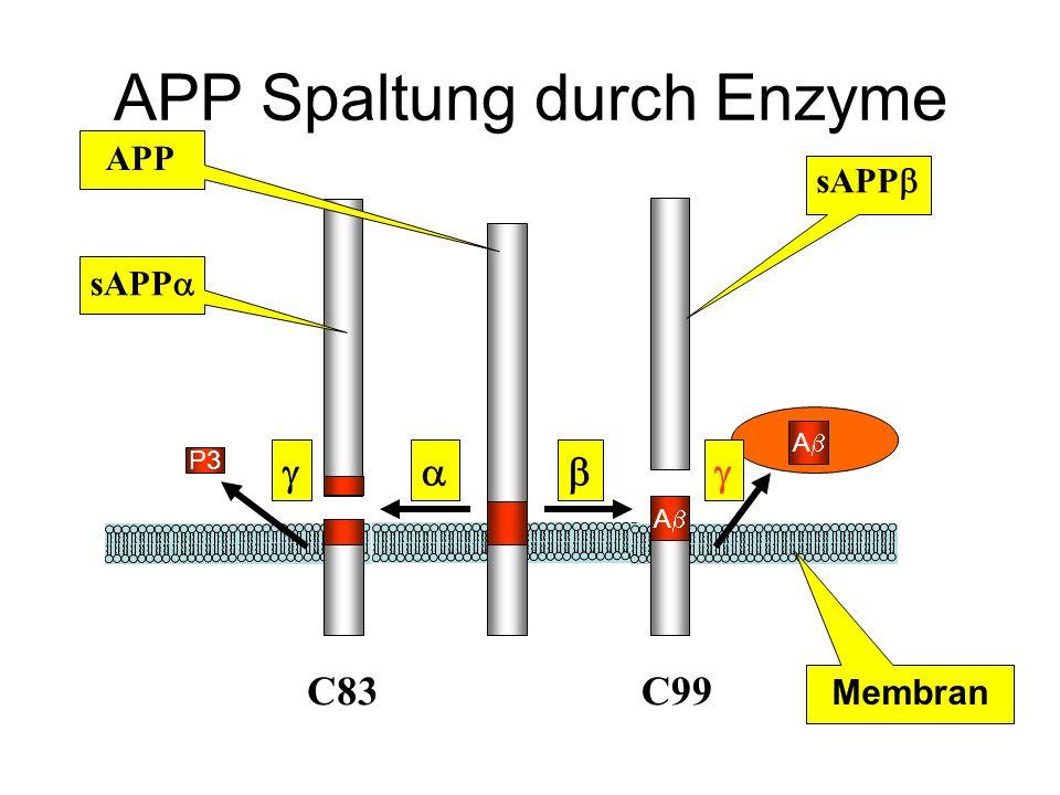 APP Spaltung durch Enzyme A A C99 C83 P3 Membran sAPP APP sAPP