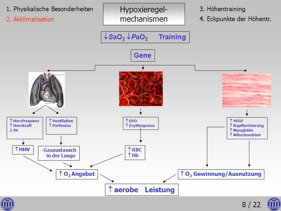 8 / 22 Hypoxieregel- mechanismen O 2 Angebot VEGF Kapillarisierung Myoglobin Mitochondrien aerobe Leistung RBC Hb EPO Erythropoese Ventilation Perfusi