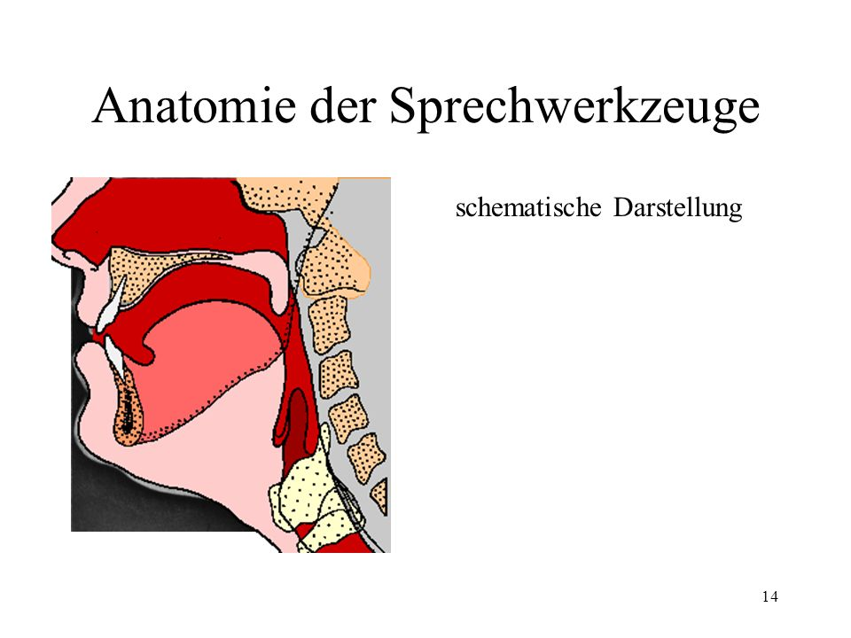 14 Anatomie der Sprechwerkzeuge schematische Darstellung