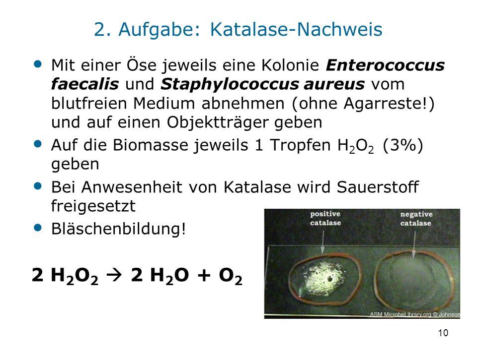 10 2. Aufgabe: Katalase-Nachweis Mit einer Öse jeweils eine Kolonie Enterococcus faecalis und Staphylococcus aureus vom blutfreien Medium abnehmen (oh